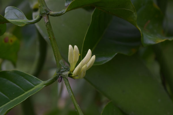 Die Blüten der Vanillepflanze öffnen sich bereits im Oktober wieder für die nächste Ernte und müssen innerhalb von 24 Stunden bestäubt werden