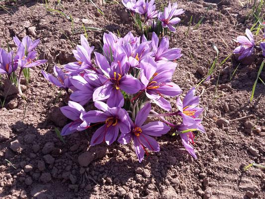 Der Safran-Crocus in voller Blüte