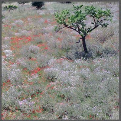 Naturblumenwiese bei Bunyola auf Mallorca 2013