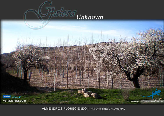 Almendros floreciendo (2011 Galera, Granada)