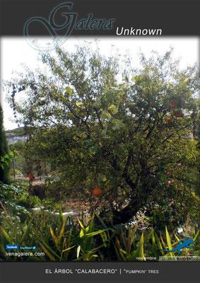 """El árbol """"calabaza"""" (2011 Galera, Granada)"""