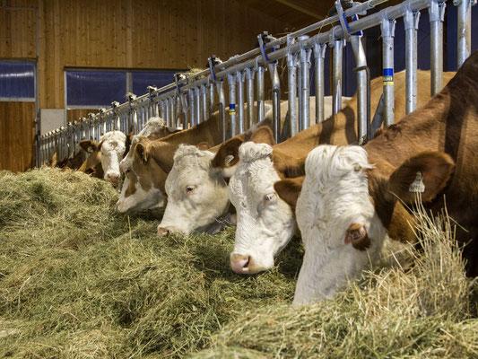 Die Kühe genießen das gute Heu aus dem Großarltal