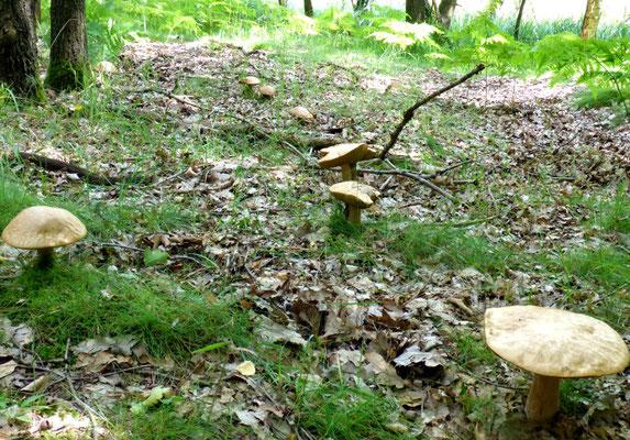 Steinpilze in Reih und Glied.