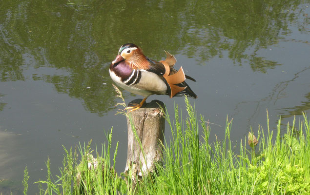 Mandarinenterich bei unserem Kanuanlieger.