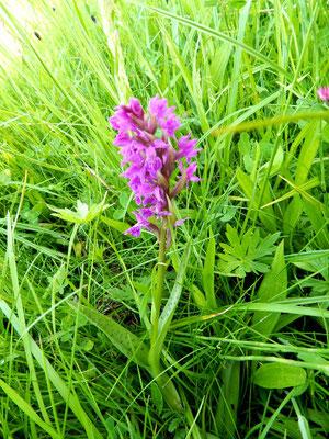 Geschützte Orchidee auf Feuchtwiese im Frühjahr.