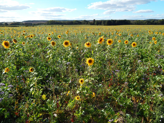Sonnenblumenfeld Uckermark.