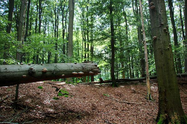 Besuch  im Unesco Weltnaturerbe Buchenwald Grumsin.