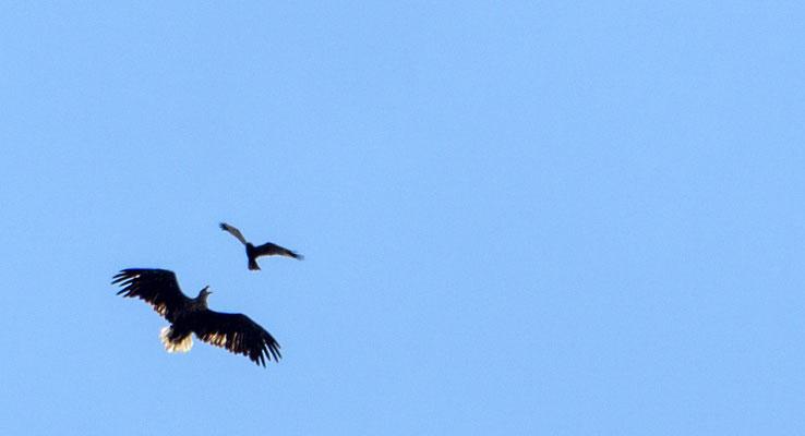 Seeadler im Luftgefecht (Foto: Heidrun Lorenz)