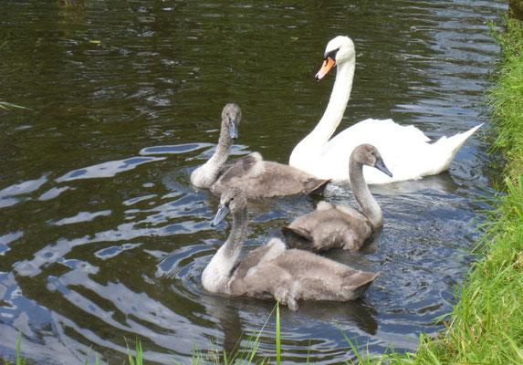 Schwanenfamilie bei uns am Kanal.