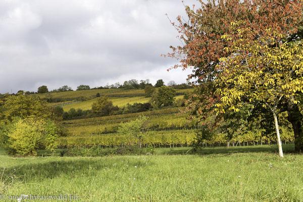 Herbststimmung in den Weinbergen bei Obernai