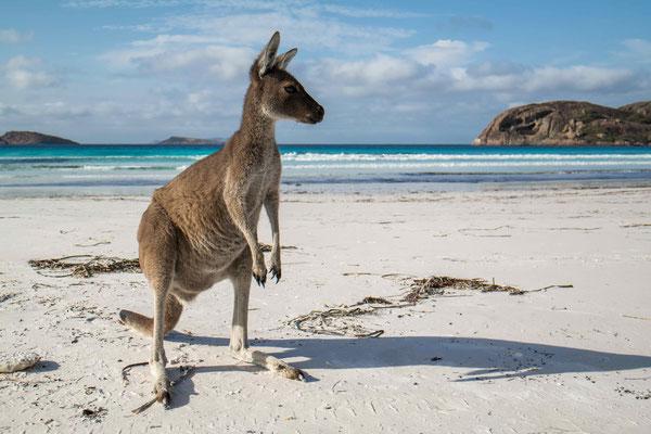 die Kängurus an der Lucky Bay in Esperance sind sehr zutraulich