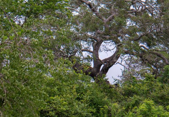 wer sieht den Leopard auf dem Baum?