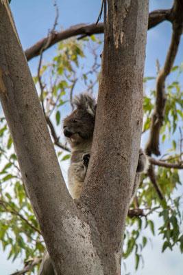 Koalas im Yanchep National Park