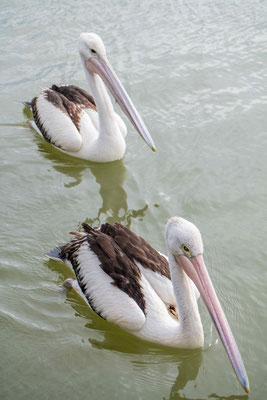 die Pelikane in Kalbarri