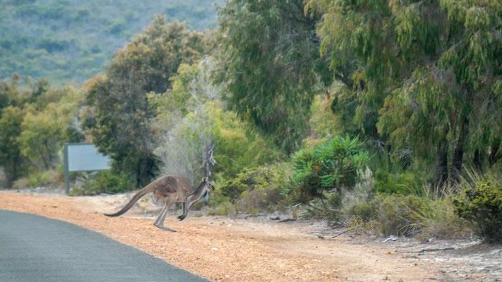 Kängurus werden bei Dämmerung aktiv