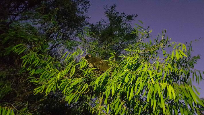 die nachtaktiven Opossums