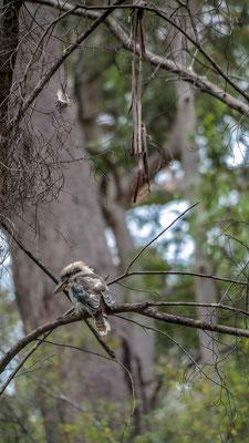 wir sind keine Ornithologen aber das könnte ein Kookaburra sein