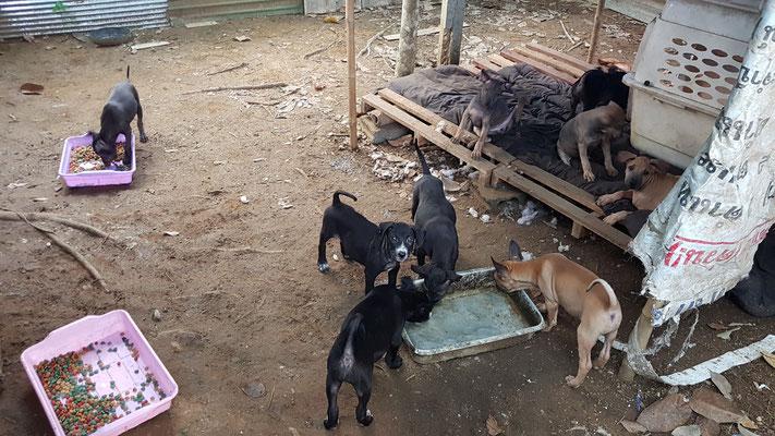 ausgesetzte Puppies unter der Obhut von Happy Dogs Koh Chang. In der Zwischenzeit wurden sie geimpft, kastriert und gechipt.