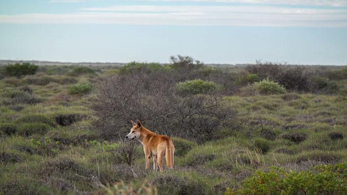 der Cape Range Nationalpark ist das zu Hause vieler Dingos...