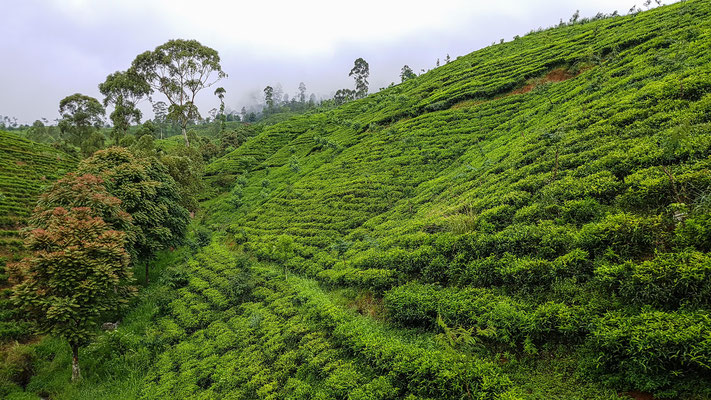 Teeplantagen in Sri Lanka