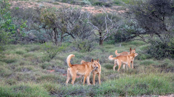 Dingos im Cape Range Nationalpark