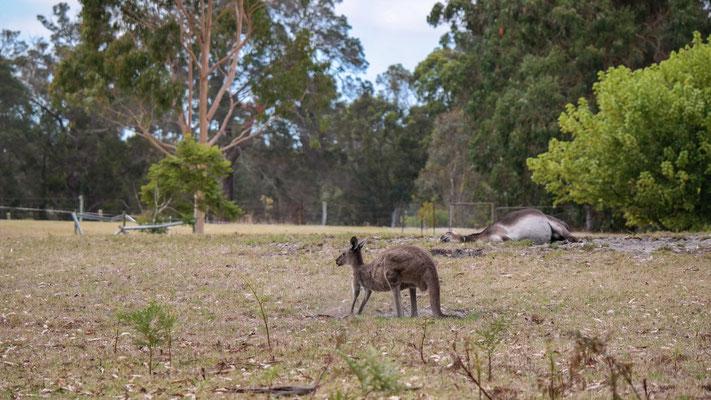 kein totes Känguru im Hintergrund...