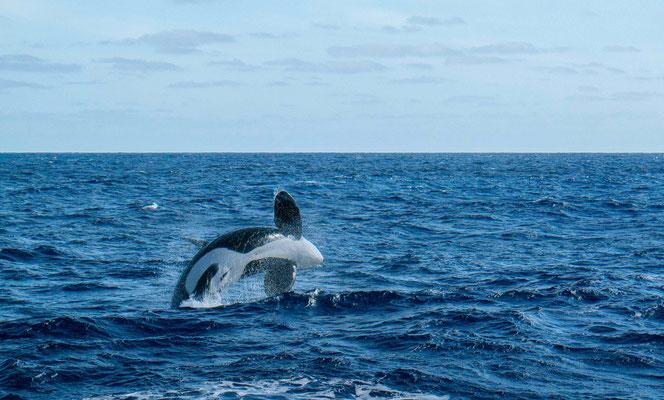 Orcas auf der Walsafari