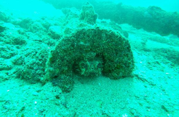 Toadfish in seinem Unterschlupf