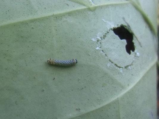 アサギマダラの幼虫