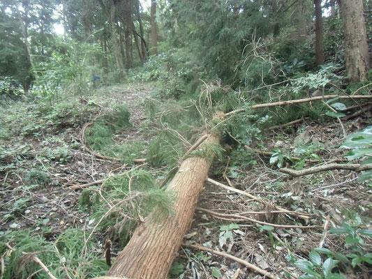 西尾根の道を塞いだスギの倒木
