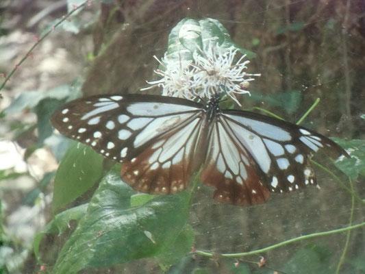 カシワバハグマの蜜を吸うアサギマダラ