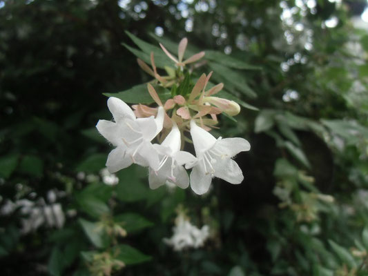 花期の長いツクバネウツギ