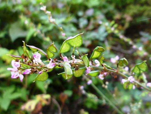 ヌスビトハギ花と実