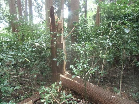 台風15号の強風で幹が折れたスギの大木