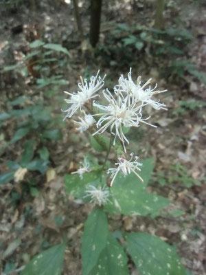 葉っぱが柏に似ているカシワバハグマの花