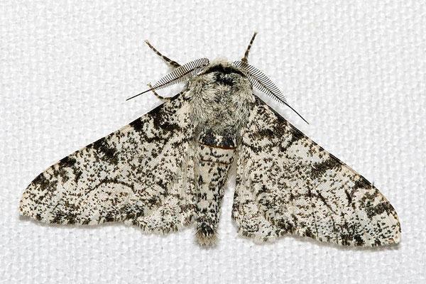 "Biston betularia forme ""typica"" claire. Source: wikipédia."