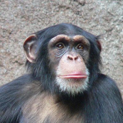 Chimpanzé. Source: wikipédia.