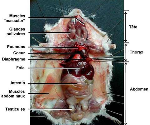 Dissection ventrale de la souris.  Source: http://www.ac-rennes.fr/pedagogie/svt/applic/dissect