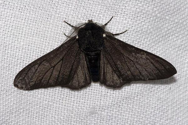 """Biston betularia forme """"carbonaria"""" noire. Source: wikipédia."""