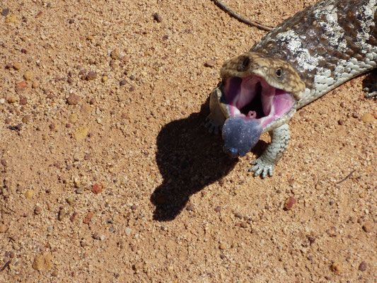 Zahnloser Kampf eines Tannenzapfensking