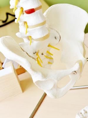 Atlaslogie-Praxis in Kappel, Ansicht Modell Beckenknochen