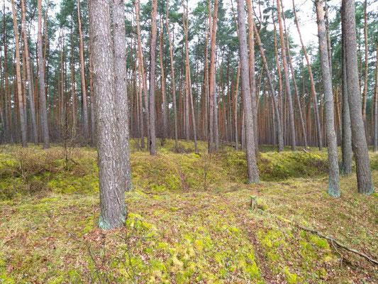 13.03.2021: Archäologische Wanderung an der Doppel-Landwehr im Seehäuser Forst, Landwehr wird durch den Bau der A14 teilweise als Bodendenkmal zerstört