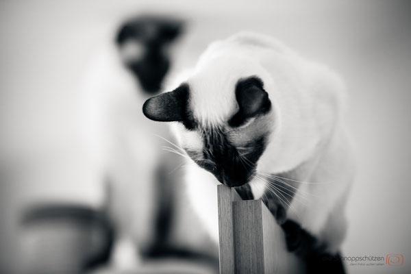 Tierfotografie Katzen | (c) die Schnappschützen
