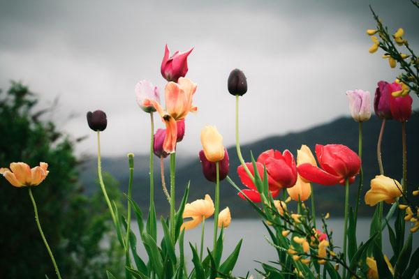 #Schottland - regenresistente Tulpen