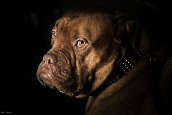 Hundefotografie Köln | Tierfotografie Köln | Bordeauxdogge | (c) die Schnappschützen
