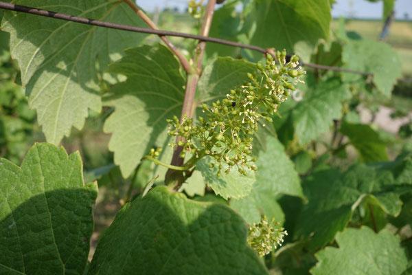 Abgehende Blüte ( hier sieht man die kleinen Fruchknoten in der Mitte und ringsherum die vielen kleinen Staubbeutel)