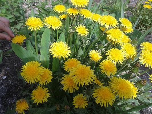 Одуванчик-мой любимый цветок