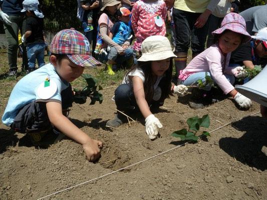 サツマイモの苗を1本ずつていねいに植えて行きます。