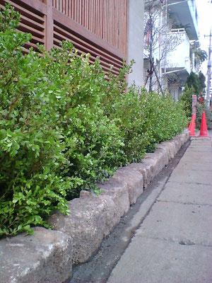 ボックスウッド植栽例
