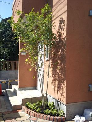 シマトネリコ植栽例
